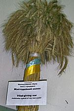 молекулярний гiибрид жита i кукурудзи Життэдайний колос