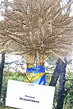 пшениця Асоцiативна