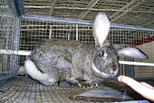 Кролик породи фландр