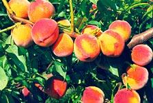 персик `Мадам десерт`