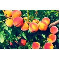 №38 від 24.09.2010 | `Лохотрон` для садоводов? (Советы от персиковода)